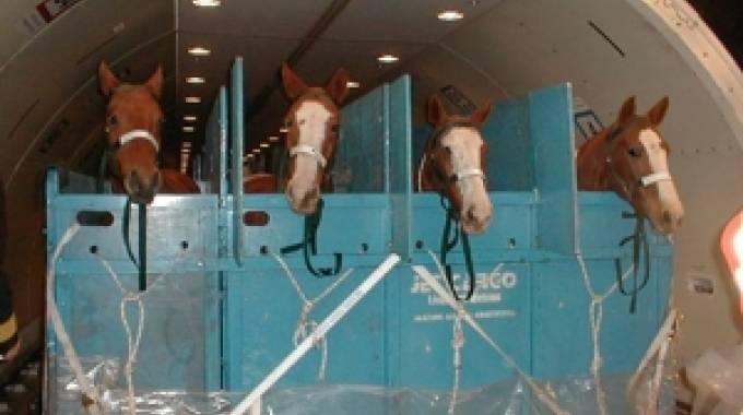 Cavalli pronti per un trasporto aereo, foto di archivio.
