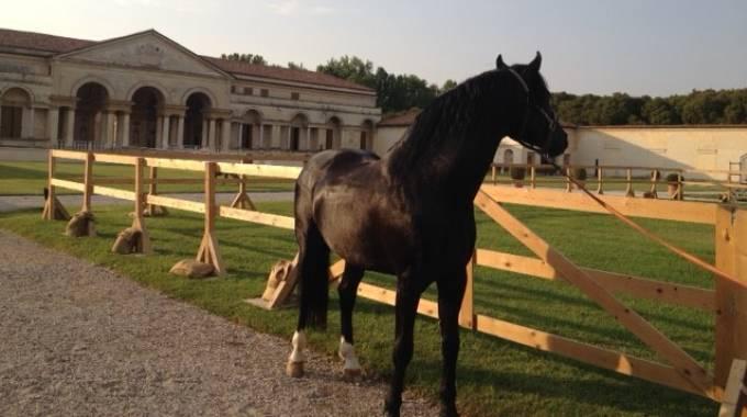 Cavalli maremmani a Palazzo Te