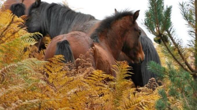 Famigliola di cavalli dell'Aveto, foto Maria Cristina Magri