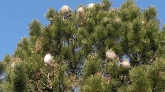 I nidi delle processionarie su un pino