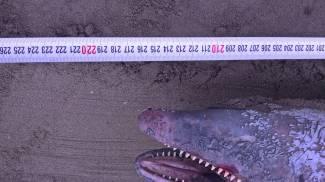 Il delfino trovato sulla spiaggia di Marina di Pietrasanta