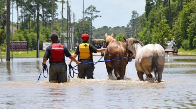 Uragano Harvey: i soccorsi ai cavalli ©Houston SPCA