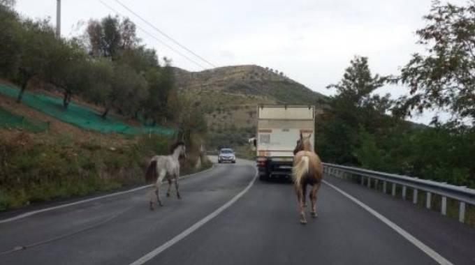 I cavalli di Agropoli: vita spericolata