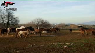 A Lunghezza è finita: finalmente  sequestrati 59 cavalli, asini, muli, pony e bardotti