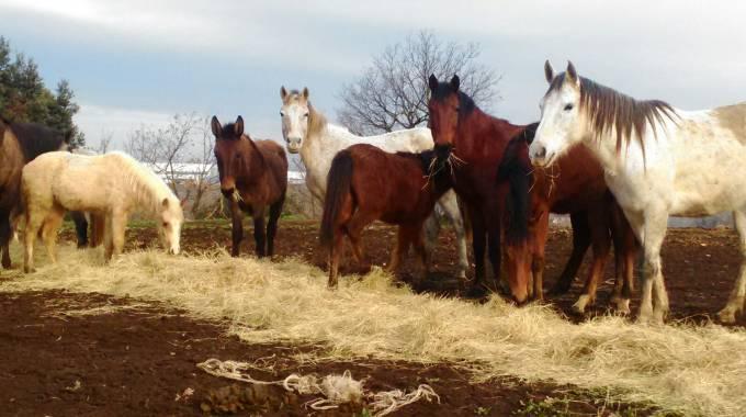 Cavalli lunghezza
