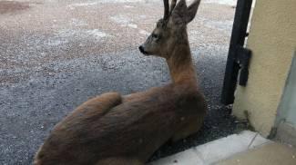 Capriolo nel parcheggio dell'università a Rimini