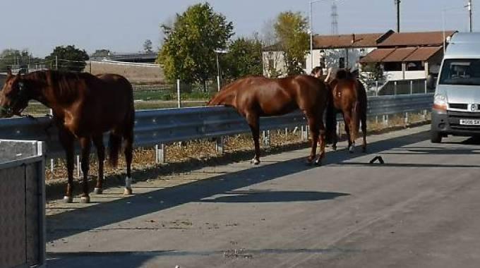 I cavalli superstiti oggi pomeriggio sull'Autocisa, foto Vigili del Fuoco