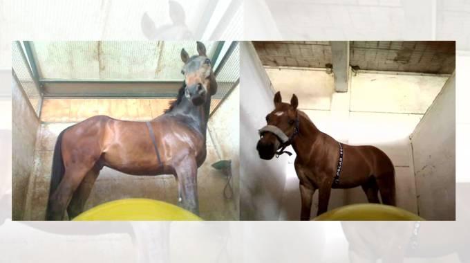 Stress Test sui cavalli rivela come si calmano da soli ©Universitá di Pisa
