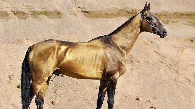 Lo stallone Akhal-Teké Dagat-Geli, photo Artur Baboev da Wiki Commons