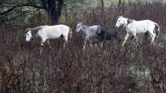 I cavalli abbandonati di Valle Lepri lavoreranno, sì...ma in libertà!
