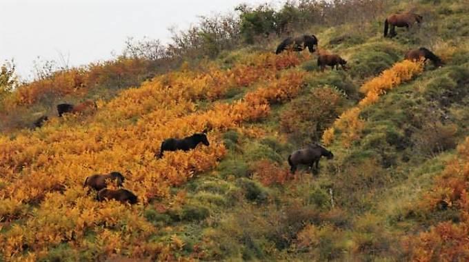 Un branco di cavalli dell'Aveto tra le felci, foto di Maria Cristina Magri