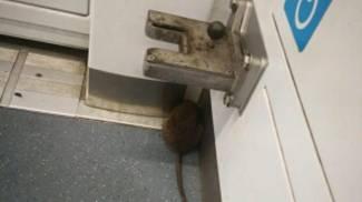 Topi in metropolitana, segnalava Pedica qualche giorno fa (Ansa)