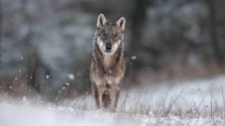 Il lupo immortalato da Stefano Ciocchetti
