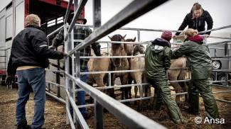 Nuove riserve naturali per 180 pony Konik dell'Oasi Oostvaardersplassen