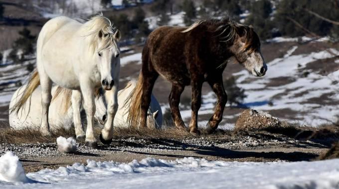 Cavallini bosniaci sulle montagne Krug, photo LVIS BARUKCIC / AFP