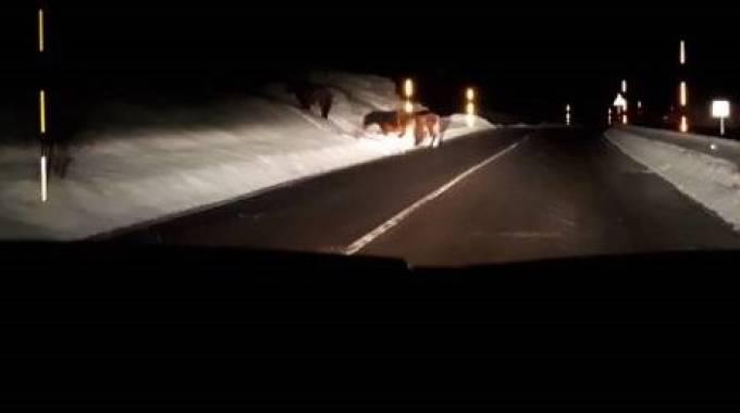 Cavalli vaganti a Lucoli, foto da pagina Facebook Simone Defel