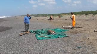 Il delfino morto a Marina di Bibbona