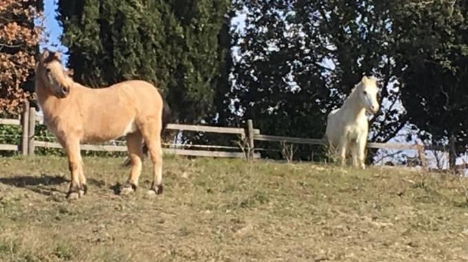 Topolino e Allegro nel loro paddock, foto Tania Favaron