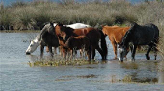 Cavalli all'Asinara, foto Ente Parco Asinara