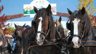 A Isola della Scala i cavalli Caitpr sono sempre i benvenuti: anzi, bentornati!
