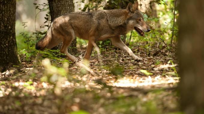 Un lupo, foto Ansa