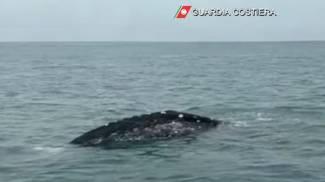 Balena grigia avvistata a Fiumicino (Guardia Costiera)