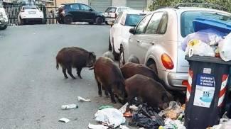 Cinghiali tra i rifiuti a Roma
