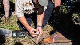 L'iniezione di isotopi radioattivi nel corno di un rinoceronte