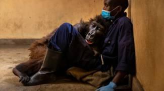 La gorilla Ndakasi e il ranger André (foto Virunga National Park)