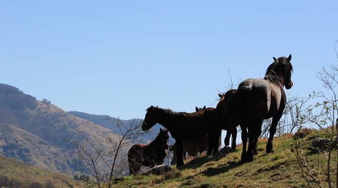 I cavalli selvaggi dell'Aveto ©Paola Marinari